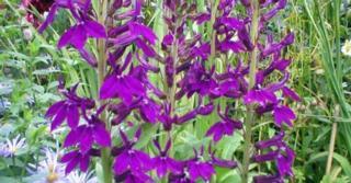 Lobelia speciosa (x) 'Hadspen Purple' PBR