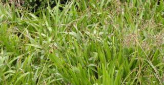 Luzula sylvatica