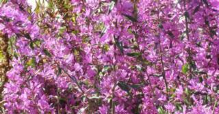 Lythrum virgatum 'Dropmore Scarlet'