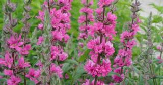 Lythrum salicaria JS® 'Pink Blush'