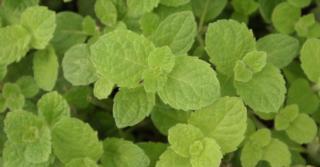 Mentha spicata 'Moroccan' (MAROKAANSE MUNT)