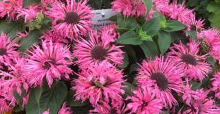 Monarda Bee-You® 'Bee-Lieve'