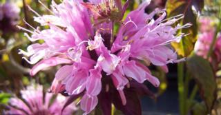 Monarda 'Beauty of Cobham'
