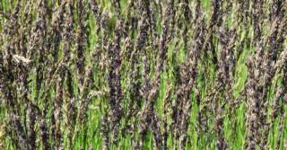 Molinia caerulea 'Dauerstrahl'