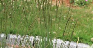 Molinia caerulea 'Heidezwerg'