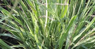 Molinia arundinacea JS® 'Mostenveld'