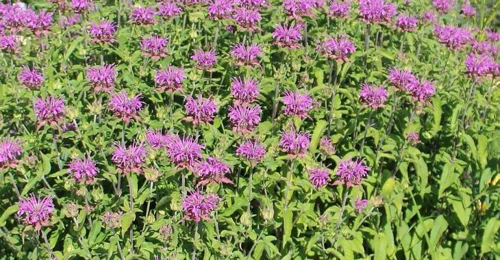 Monarda 'Violet Queen'