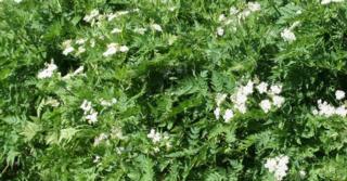 Myrrhis odorata (DOORLEVENDE KERVEL)