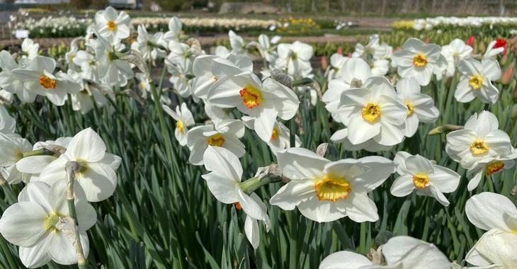 Narcissus 'Actaea' LOS
