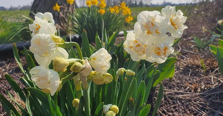Narcissus 'Bridal Crown' LOS
