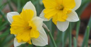 Narcissus 'Centannées'