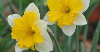 Narcissus 'Centannées' LOS