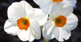 Narcissus 'Geranium' LOS
