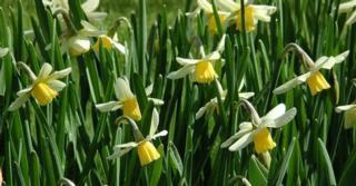 Narcissus 'Jack Snipe' LOS