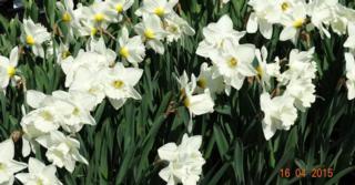 Narcissus 'Mount Hood' LOS