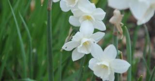 Narcissus 'Pueblo' LOS