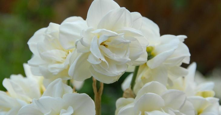 Narcissus 'Rose of May'