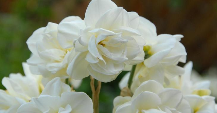 Narcissus 'Rose of May' LOS