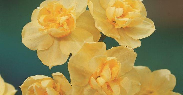 Narcissus 'Yellow Cheerfulness' LOS