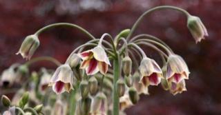 Nectaroscordum siculum subsp. bulgaricum LOS