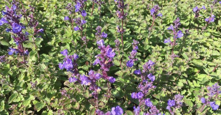 Nepeta faassenii (x) 'Purrsian Blue' PBR