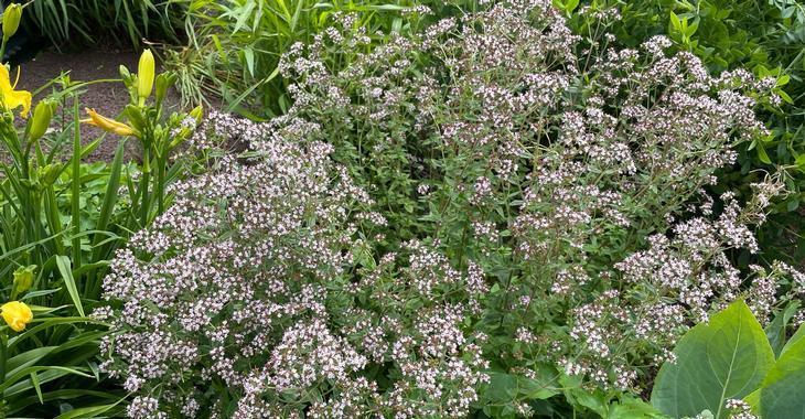 Origanum vulgare  (MARJOLEIN)
