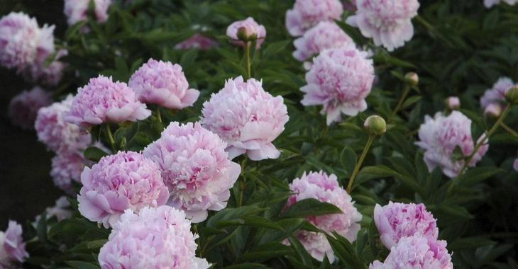 Paeonia lactiflora 'Angel Cheeks' (SD)