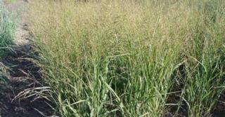 Panicum virgatum JS® 'Buffalo Green' PBR
