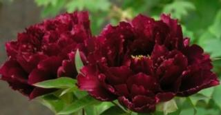 Paeonia lactiflora 'Black Beauty' (D)