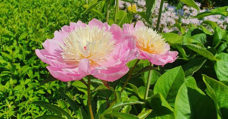 Paeonia lactiflora 'Bowl of Beauty' (SD)