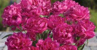 Paeonia lactiflora 'Riches and Fame' (D)