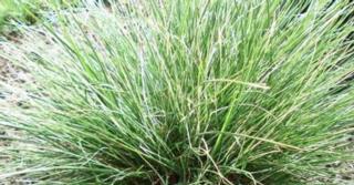 Pennisetum alopecuroides 'Little Honey'