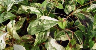 Persicaria filiformis 'Painter's Palette'