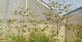 Peucedanum verticillare