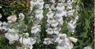 Penstemon 'White Bedder'