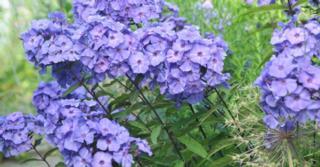 Phlox p. 'Blue Paradise'