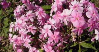 Phlox amplifolia JS® 'Christine'