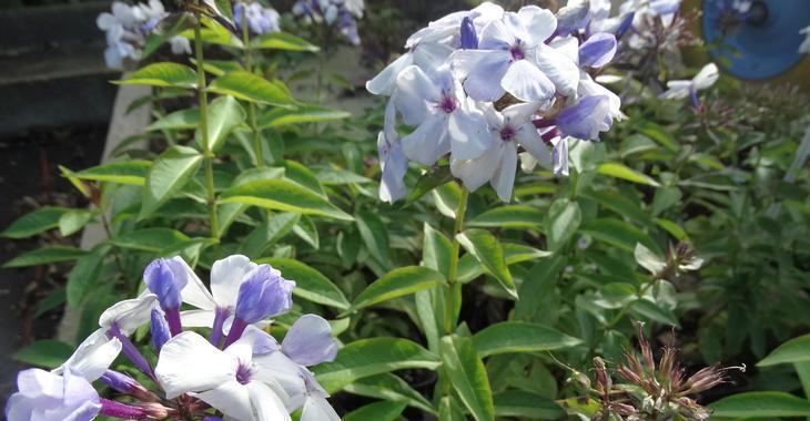Phlox p. FLAME BLUE® ('Bareightysix')