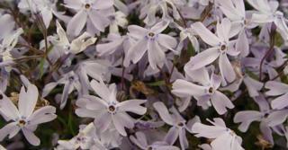 Phlox subulata 'G.F. Wilson'