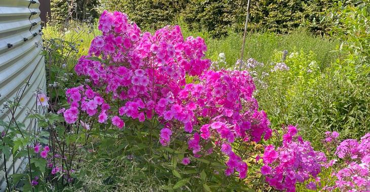Phlox amplifolia JS® 'Pink Painting'