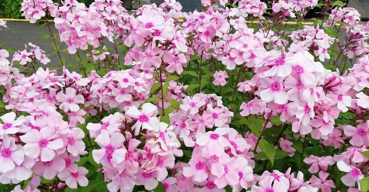 Phlox p. 'Rosa Pastell'