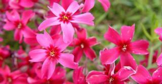 Phlox subulata 'Scarlet Flame'
