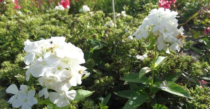 Phlox p. TWINKLE ® 'White'