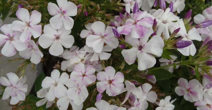 Phlox p. TWINKLE ® 'White Lavender'