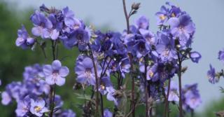 Polemonium yezoense 'Bressingham Purple'