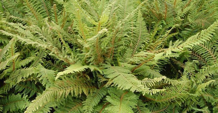 Polystichum setiferum 'Plumoso-densum'