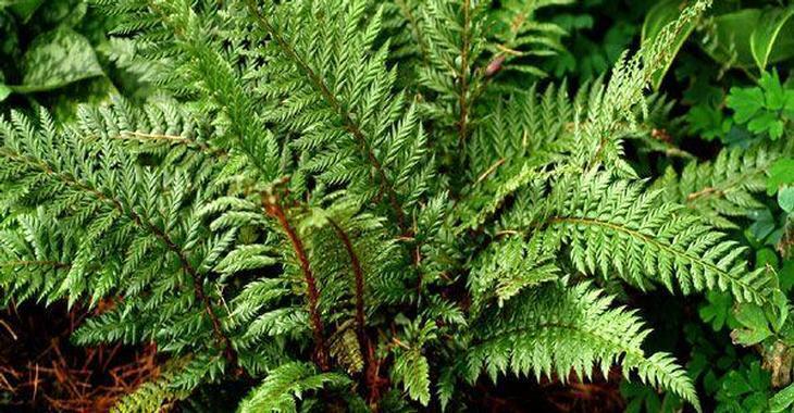 Polystichum setiferum 'Shiny Holly'