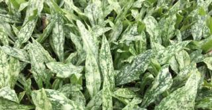 Pulmonaria longifolia subsp. cevennensis