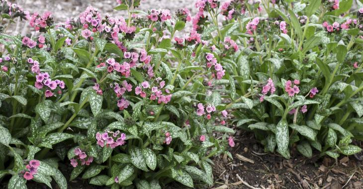 Pulmonaria 'Pretty in Pink'