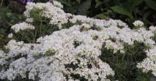 Pycnanthemum flexuosum (=tenuifolium)